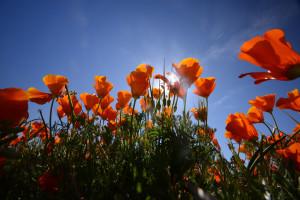 Slider2-California-Poppies